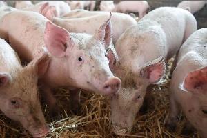 2000 porcs abattus dans la région de l'Ouest du Cameroun