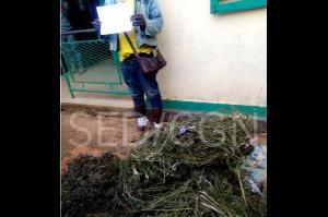 Le présumé cultivateur de chanvre âgé de  51 ans arrêté