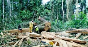 Exploitation de bois dans une forêt au Cameroun
