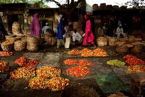 le gouvernement va (enfin sauver)  la filière tomate en difficulté
