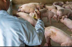 La grippe porcine détectée dans le Littoral