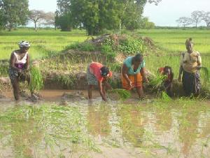 Ce projet vient en soutient à la Société d'expansion et de modernisation de la riziculture (Semry)