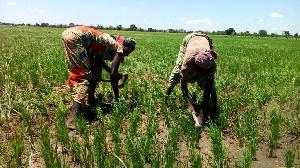 Le FIDA va injecter plus de 33 milliards dans le développement des filières riz