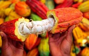 La femme rurale en véritable entrepreneure agricole tirant des revenus de la culture du cacao,