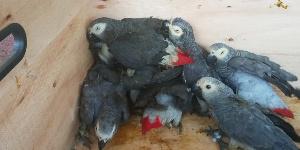 Les perroquets gris à queue rouge