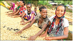 Ethiopian girls sorting coffee beans