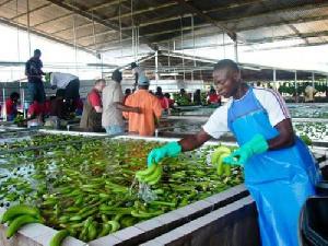 Pour mois de juin, les exportations de la banane camerounaises, connaissent une hausse de 3769 T