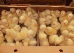 Il interdit momentanément l'importation des poussins d'un jour, des œufs à couver