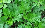 Plantes d'Artemisia