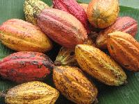 le cacao tient le haut du pavé avec 11,1% de l'enveloppe des recettes d'exportation du Cameroun