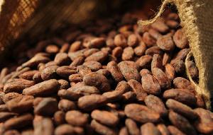 Chute du prix du cacao