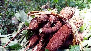 Le Cameroun est dépendant de l'importation du blé.