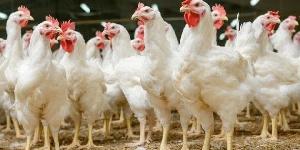 Le marché des poulets est vide