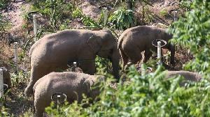 Le troupeau se trouve désormais à une vingtaine de kilomètres de la ville de Kunming