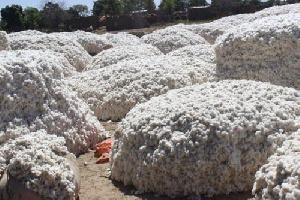 Une récolte de coton