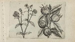 Quel est ce fruit médiéval oublié au nom vulgaire ?