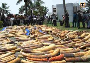 COVID-19 ne décourage pas les trafiquants d'ivoire